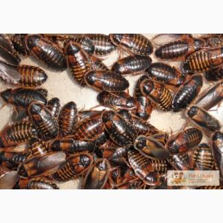 Продам Аргентинский таракан (Blaptica dubia) Аргентинский таракан