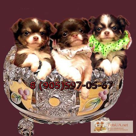Фото 1/3. Чихуахуа шоколад, реально красивые щенки