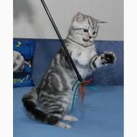 Британский котенок (мальчик) окраса черный мрамор на серебре