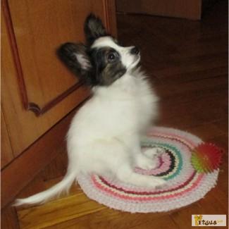 Предлагаются очень красивые щенки папильона