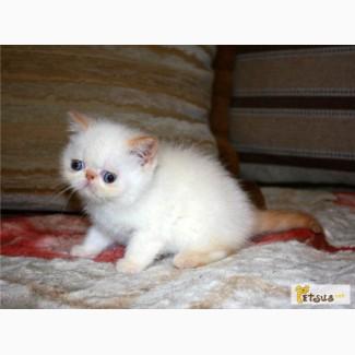 Экзотические короткошерстные ( ЭКЗОТ) котята