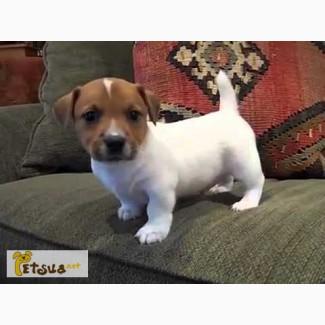 Прийму в дар МАЛЕНЬКОГО щеночька породы ДЖЕК РАССЕЛ!!! Срочьно