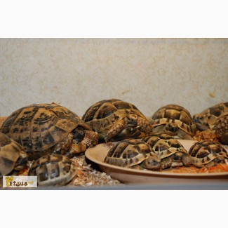 Продам черепахи