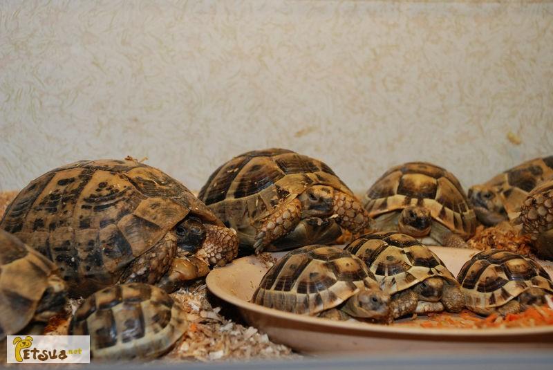 Фото 1/1. Продам черепахи