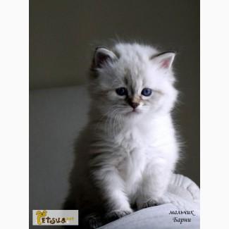 Чистокровные невские маскарадные котята
