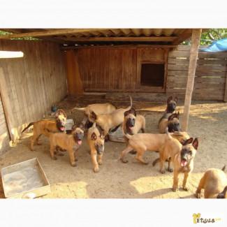 Продаются щенки Бельгийской овчарки Малинуа! Документы КСУ