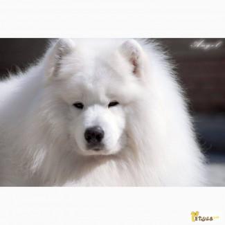 Великолепные щенки Самоеда