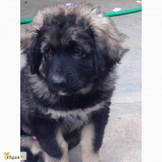 Продам высокопородных щенят кавказской овчарки. Дарю умного беспородного щенка