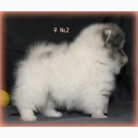 Девочка редкого симметричного окраса (пати-колор) - Померанский шпиц