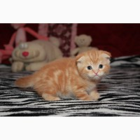 Котенок-котик скоттиш фолд