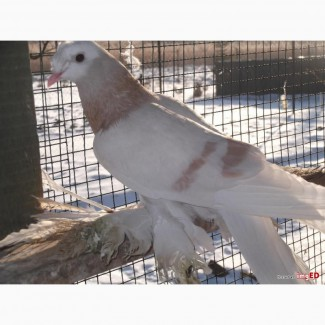 Голуби туркоты и голуби павлины