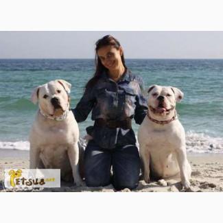 Предлагаются к резервированию щенки американского бульдога дата рождения 08.05.2015