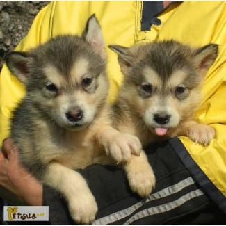 Продам или поменяю щенков маламутов