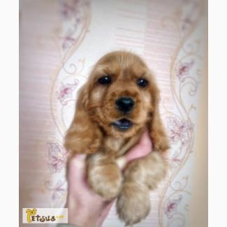 Продам щенков английской кокер спаниели