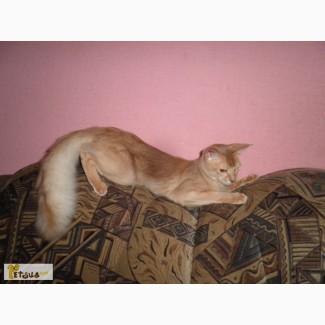 Шикарный котик сомали