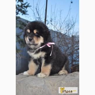 Тибетский мастиф, щенки
