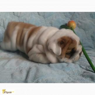 Элитный щенок Английского Бульдога. Не дорого