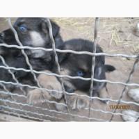 ГОЛУБОГЛАЗЫЕ щенки немецкой овчарки папа хаски