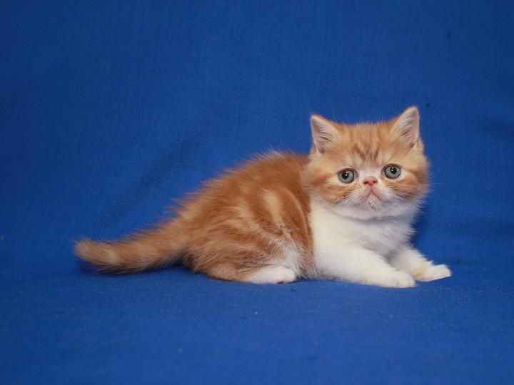 Фото 2/5. Экзоты котята, чистокровные с документами