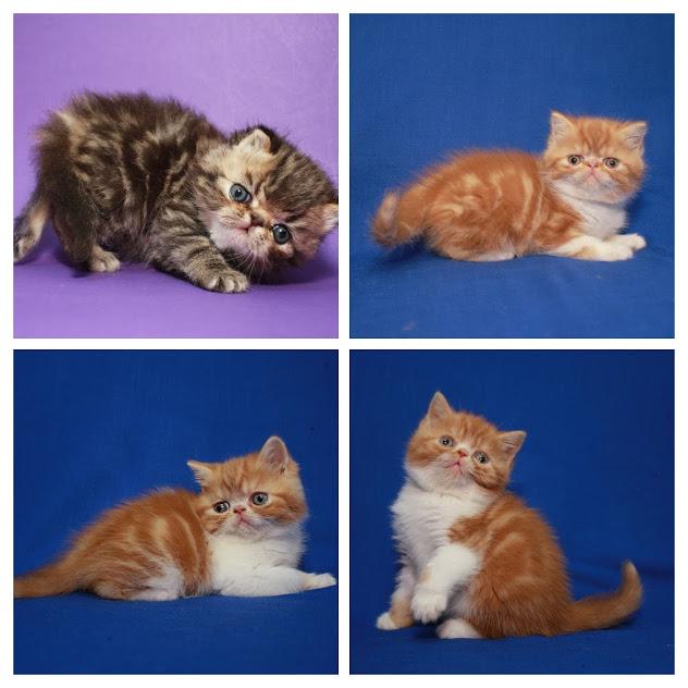 Фото 3/5. Экзоты котята, чистокровные с документами