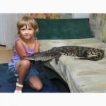 Крокодил (Нильский 110 см.)