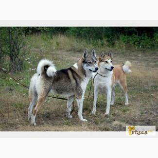 Куплю щенка западносибирской лайки (кабелька) в Харькове