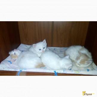 Шикарные котята породы Турецкий Ван