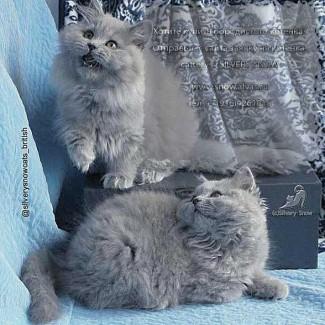 Голубые длинношерстные британские котята