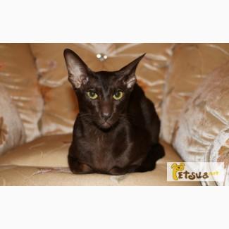 Ориентальный кот для вязки с родословной