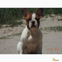 Продается щенок французика