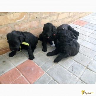 Продам щенков черного терьера