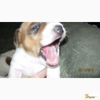 Очаровательные щенки Джек рассел терьера