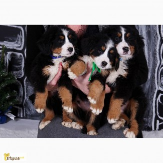 Бернский зенненхунд щенки продам