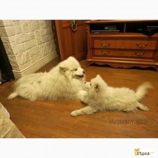 Продается алиментный щенок самоеда КСУ (самоедская собака)