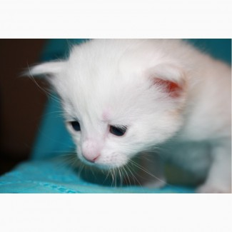 Котенок турецкой ангоры - счастье Вашего дома! Неописуемая красота и душевная отрада :)