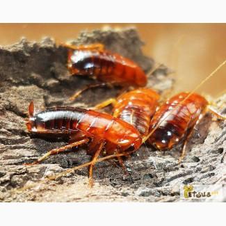 Туркменские тараканы (Shelfordella tartara)