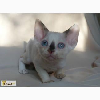 Девочка девон - рекс с голубыми глазами