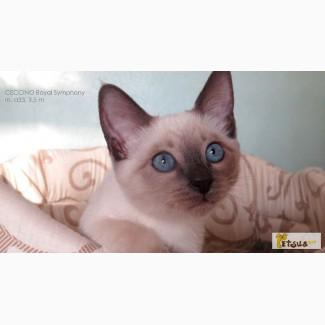 Тайские котята. Элита породы. д.р. 12.07.2015