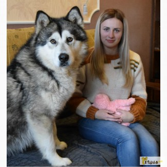 Продаются щенки аляскинского маламута