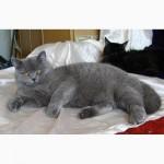 Великолепный британский короткошерстный котенок, подрощенный