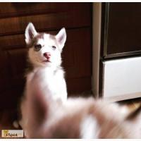 Продам щенков Сибирский Хаски ШОУ класса