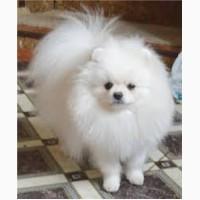 Предлагаем к продаже белого померанского карликового (цверг) шпица