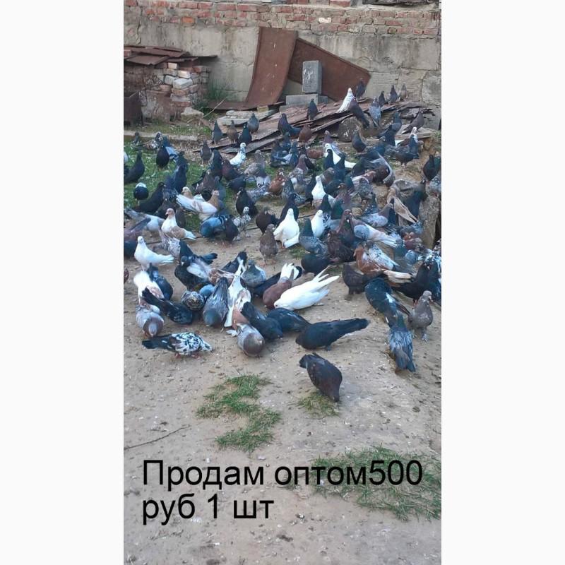 Фото 1/1. Продам оптом мраморных Николаевских голубей Масти:мраморные