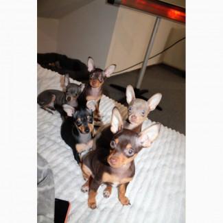 Чистокровные щенки Той-терьера, стандарт