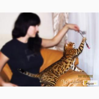 Яркие бенгальские котята