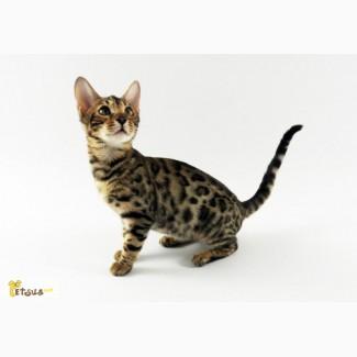 Бенгальские котята. С РОДОСЛОВНОЙ. Очень красивые!!! (питомник Exotic Jungle)