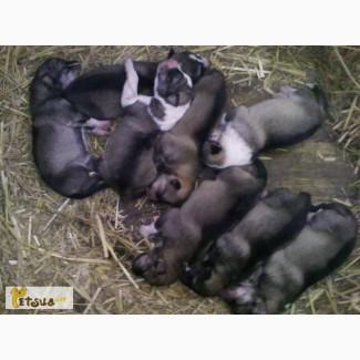 Продам щенков гибриды лайки и волка 2 поколение