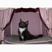 Продам котенка мейн-куна с документами, красавчик