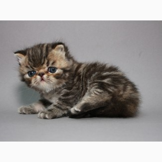Предлагаем шикарного котёнка породы ЭКЗОТ