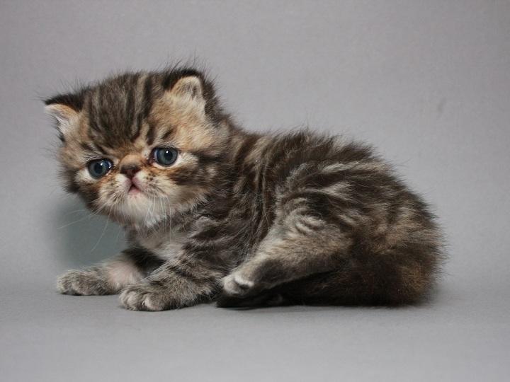 Фото 1/3. Предлагаем шикарного котёнка породы ЭКЗОТ